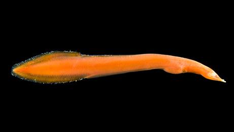 Neocyema-pesce-arancione-creatura-abissi