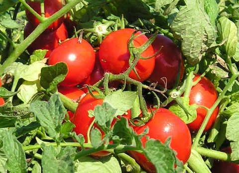 Pomodori-urina-concime-fertilizzante