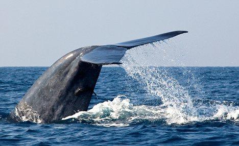 canto-balene-blu