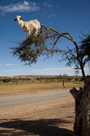 capra-su-albero