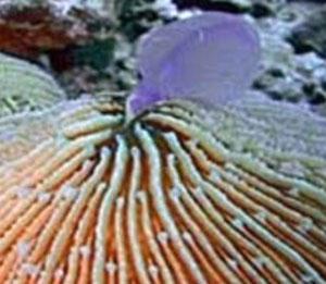 corallo-mangia-medusa