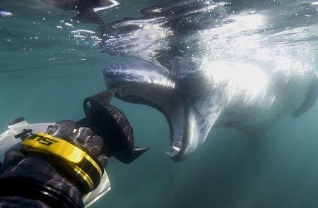 foca-leopardo-azzanna-pinguino-caccia-foto-pic-01