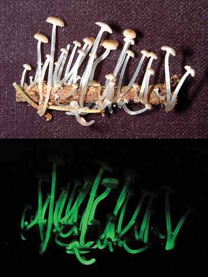 funghi-fungo-psichedelico-fluorescente-brasile-luxaeterna-foto-01
