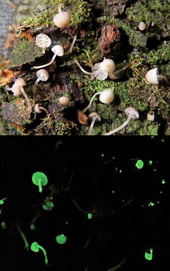 funghi-fungo-psichedelico-fluorescente-brasile-luxaeterna-foto-02
