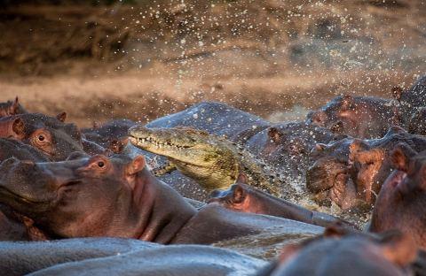 ippopotamo-mangiato-da-coccodrilli-foto-01