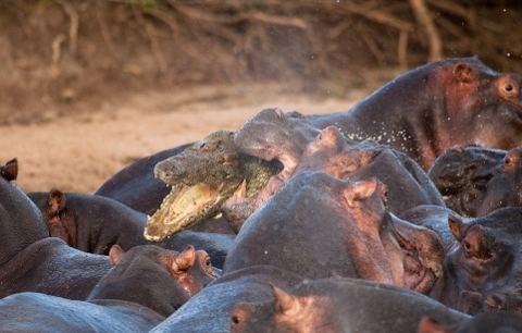ippopotamo-mangiato-da-coccodrilli-foto-03