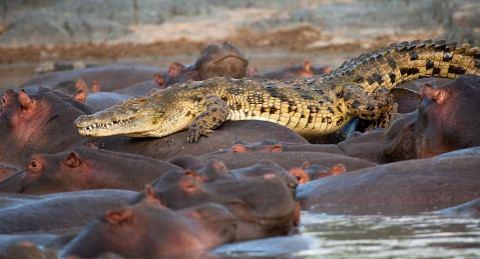 ippopotamo-mangiato-da-coccodrilli-foto-05