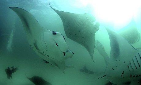 manta-gigante-mozambico-oceano-foto-01