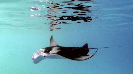 manta-gigante-mozambico-oceano-foto-02