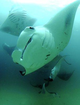 manta-gigante-mozambico-oceano-foto-03