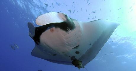 manta-gigante-mozambico-oceano-foto-05