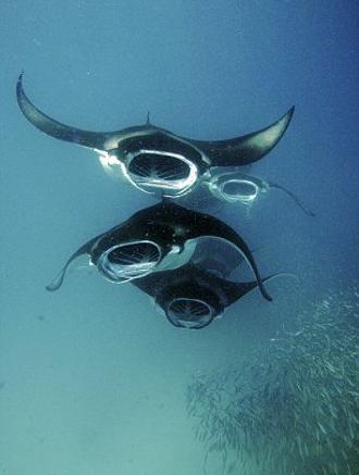 manta-gigante-mozambico-oceano-foto-06