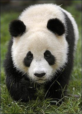 panda-gigante-estinzione-