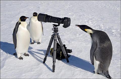 pinguini-foto-animali-