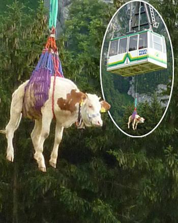 salvataggio-mucca-lulu-funivia