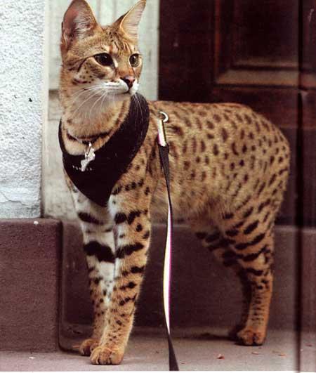 savannah-super-gatto