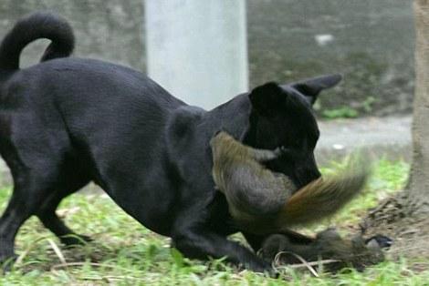 scoiattolo-difende-figlio-da-cane-foto-02