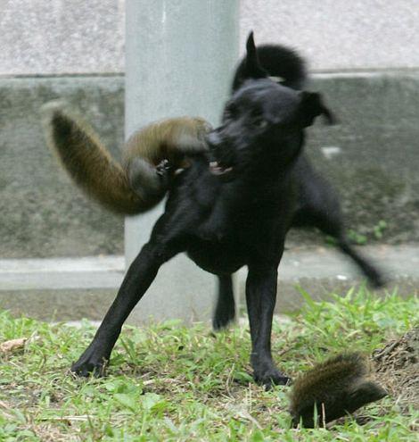scoiattolo-difende-figlio-da-cane-foto-03