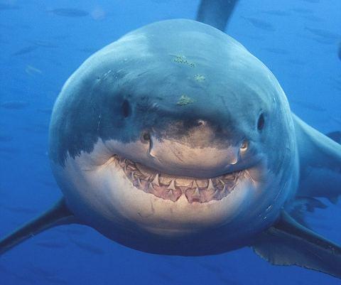 squalo-shark-sorriso-smile