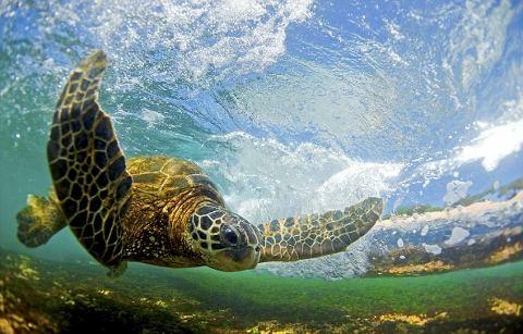 tartaruga-tuffo-oceano-corrente