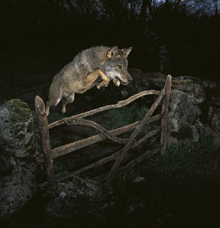 Veolia-Environnement-wild-foto-lupo-falsa