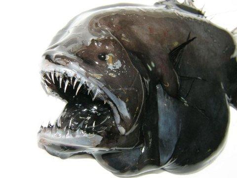 animali-nuove-specie-scoperta-groenlandia-mare-foto-01