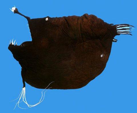 animali-nuove-specie-scoperta-groenlandia-mare-foto-05