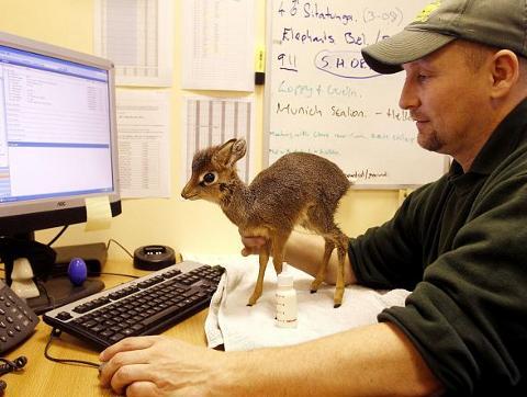 antilope-cucciolo-animale-freddo-gelo-inghilterra-foto-02