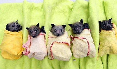 australia-pipistrelli-ambiente-foto-01
