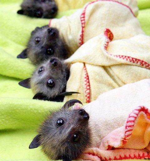 australia-pipistrelli-ambiente-foto-02