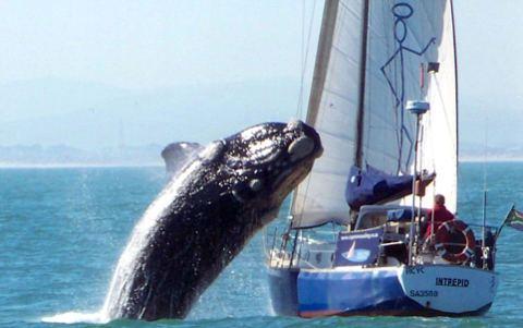 balena-sudafrica-attacco-imbarcazione-foto-01