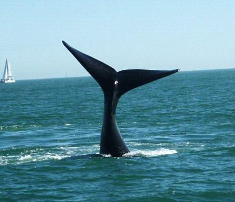 balena-sudafrica-attacco-imbarcazione-foto-03