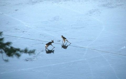 bambi-cervo-cerbiatto-salvataggio-ghiaccio-01