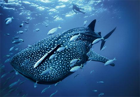 blue-whale-shark-squalo-balena-national-geographic-foto-pic