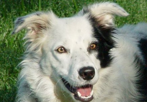 border-collie-chaser-intelligenza-cane-01
