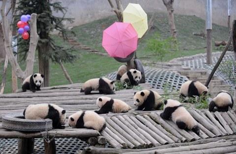 cuccioli-panda-cina-foto-02