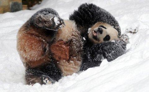 cuccioli-panda-cina-foto-03