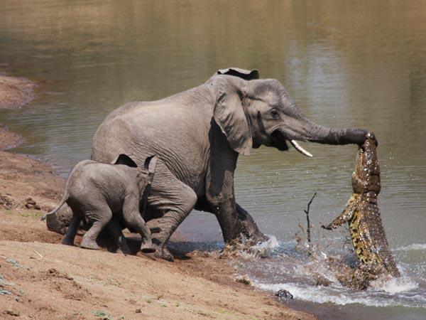 elefante-coccodrillo-aggressione-foto-01