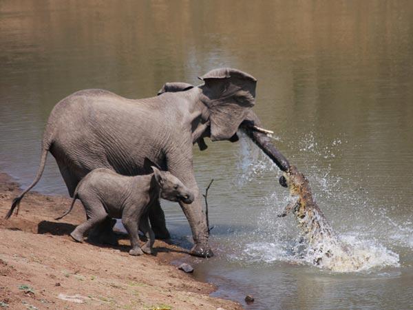 elefante-coccodrillo-aggressione-foto-02