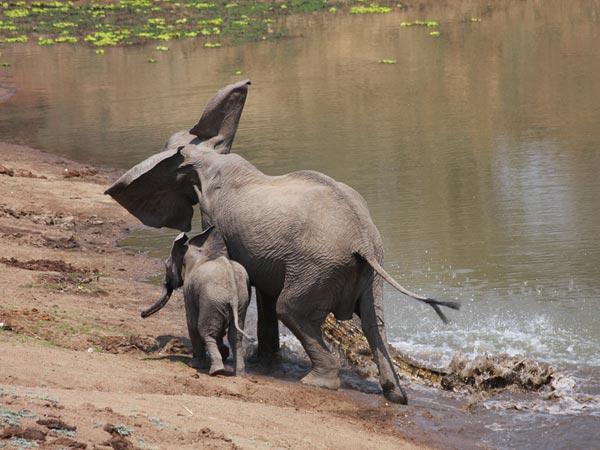 elefante-coccodrillo-aggressione-foto-03