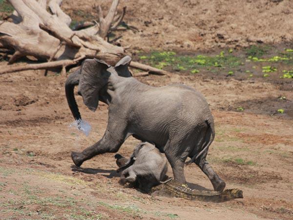 elefante-coccodrillo-aggressione-foto-04