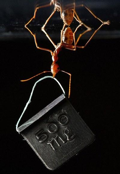foto-formica-forza-peso