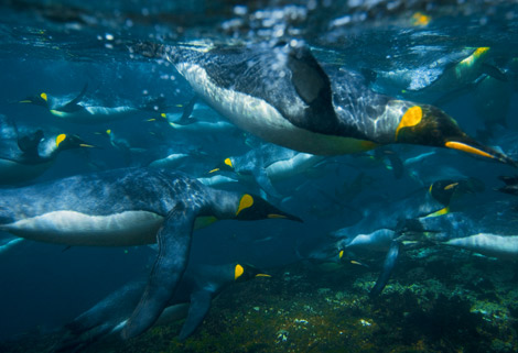 foto-immagine-pic-national-geographic-king-penguins-swimming