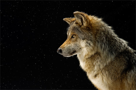 foto-immagine-pic-national-geographic-mexican-gray-wolf