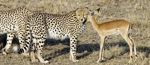 ghepardi-impala-safari-kenya-foto-01