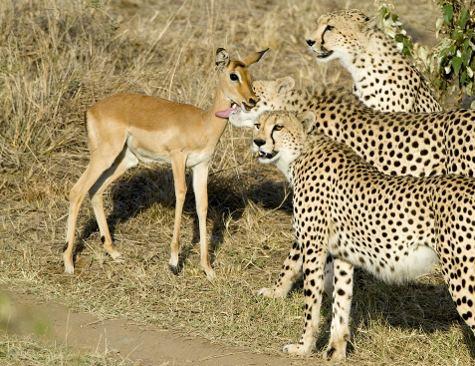 ghepardi-impala-safari-kenya-foto-02