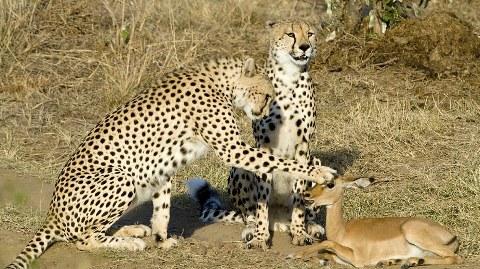 ghepardi-impala-safari-kenya-foto-03