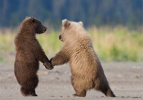 grizzly-bear-orsi-amici-national-geographic-foto-pic