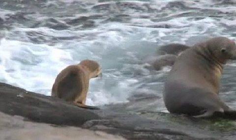 leone-marino-caccia-polpo