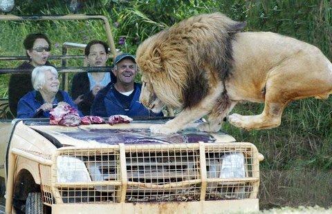 lion-car-leone-zoo-gioco-australia